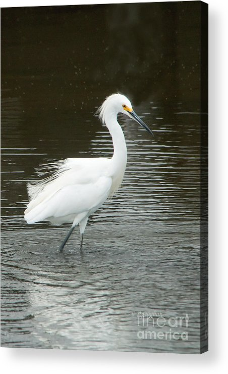 Birds Acrylic Print featuring the photograph Snowy Egret by Regina Geoghan