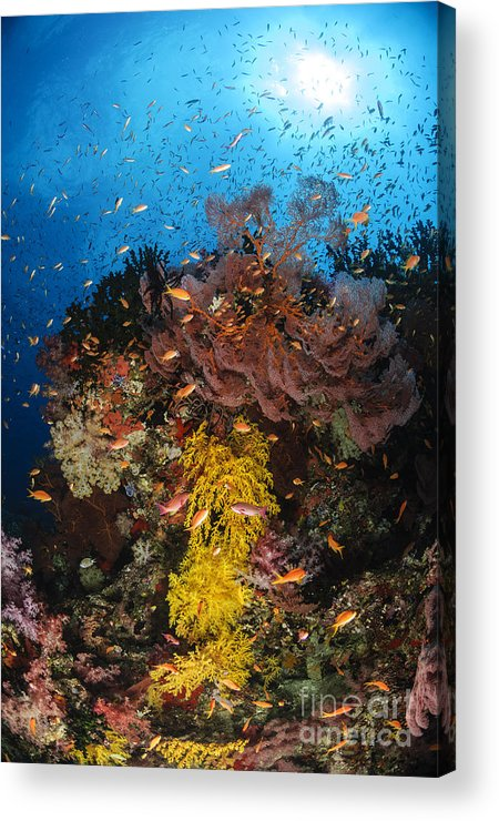 Anthias Fish Acrylic Print featuring the photograph Soft Coral And Sea Fan, Fiji by Todd Winner