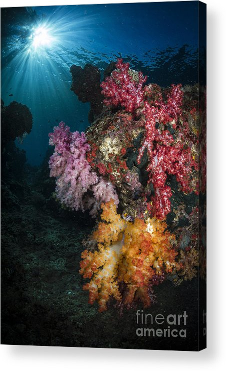 Raja Ampat Acrylic Print featuring the photograph Soft Coral And Sunburst In Raja Ampat by Todd Winner