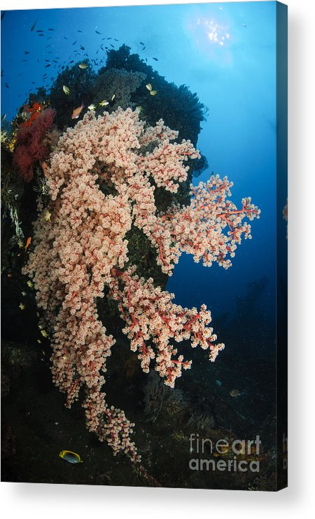 Liberty Wreck Acrylic Print featuring the photograph Soft Coral On The Liberty Wreck, Bali by Todd Winner