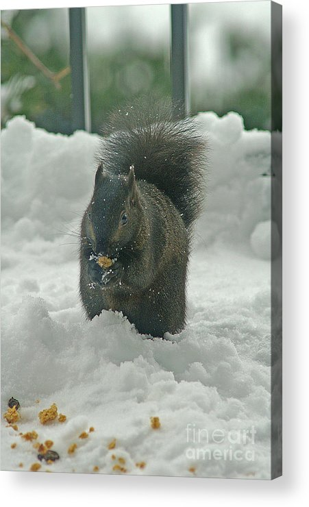 Squirrels Acrylic Print featuring the photograph Squirrel In The Snow by Randy Harris