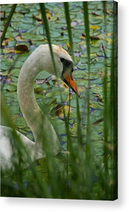 Swan Acrylic Print featuring the photograph Swan Naturally by Odd Jeppesen