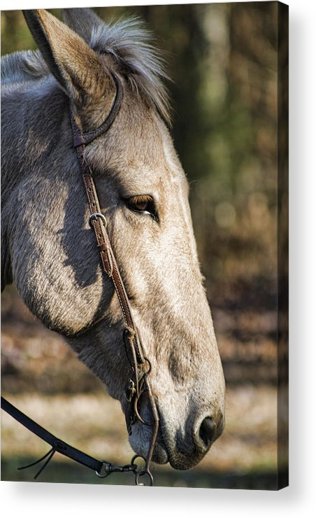 Mule Acrylic Print featuring the photograph Sweet Mule Friend by Kathy Clark