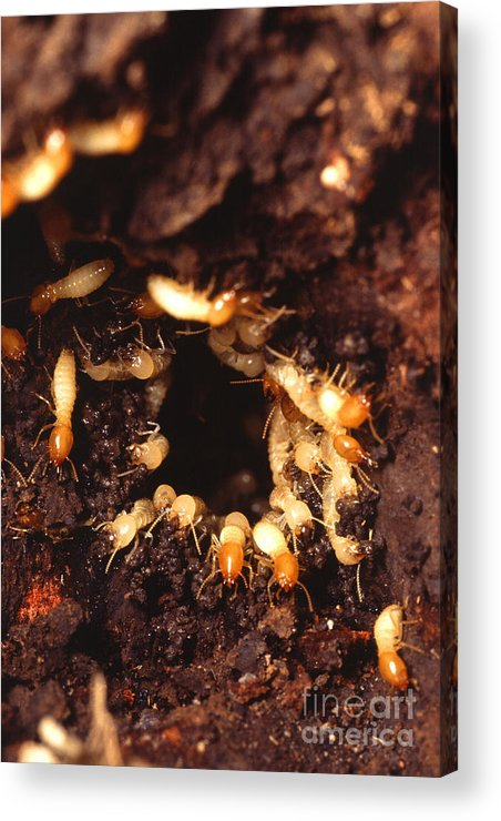 Formosan Termite Acrylic Print featuring the photograph Termite Nest by Science Source