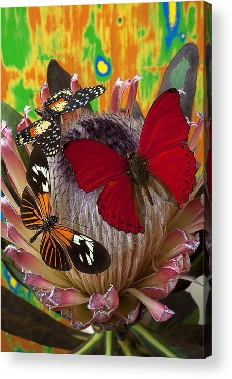 Three Butterflies Protea Acrylic Print featuring the photograph Three Butterflies On Protea by Garry Gay