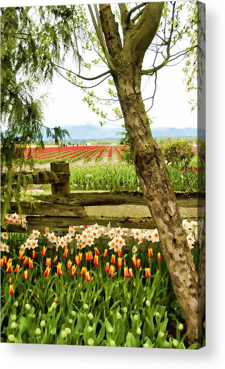 Tulips Acrylic Print featuring the photograph Tulip Time In The Skagit Valley by Beverly Hanson