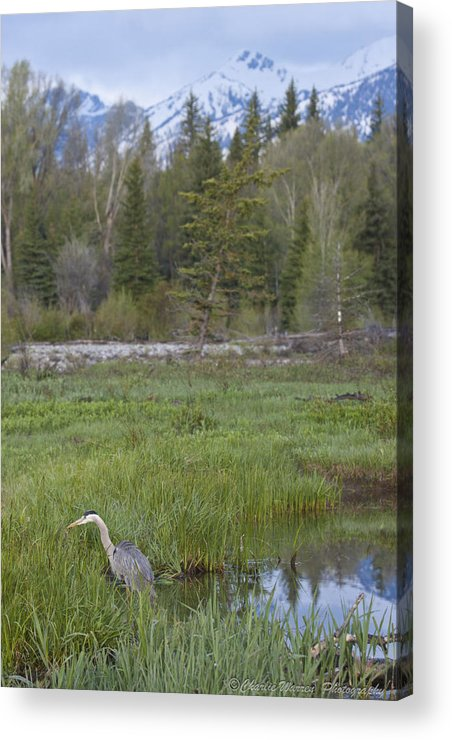 Egret Acrylic Print featuring the photograph Wading On Breakfast by Charles Warren