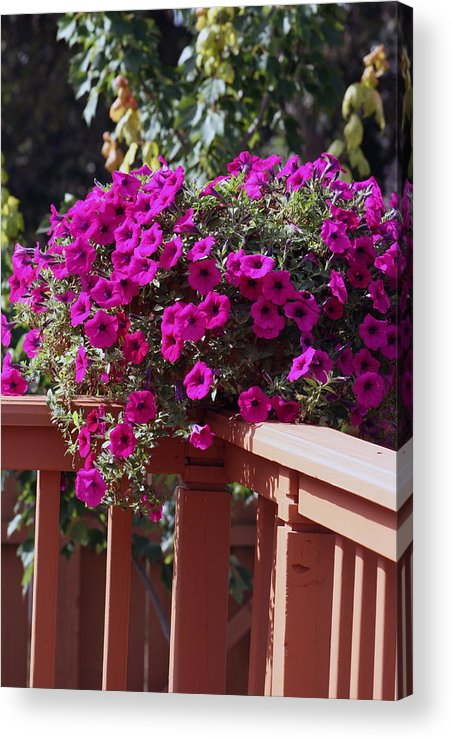 Vibrant Acrylic Print featuring the photograph Wave Petunia by Kay Novy