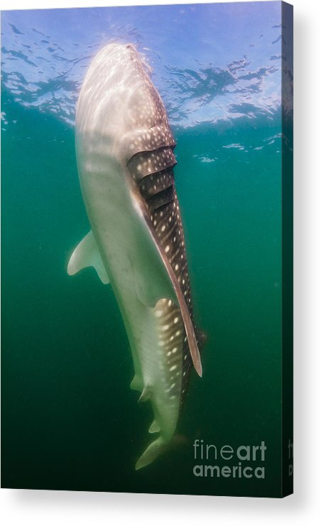 La Paz Acrylic Print featuring the photograph Whale Shark, La Paz, Mexico by Todd Winner