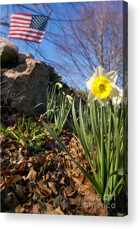 Spring Acrylic Print featuring the photograph White And Yellow Daffodil Flower by Matt Suess