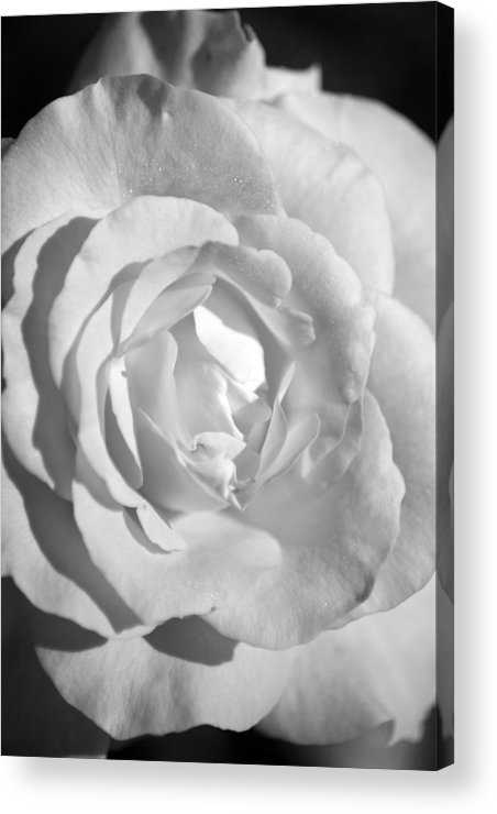 Rose Acrylic Print featuring the photograph White Rose by Kevin Alpert