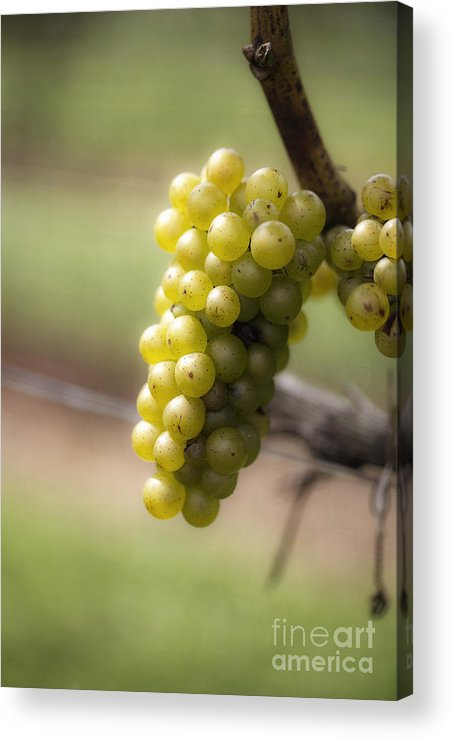 Grapes Acrylic Print featuring the photograph Wine Grapes by Leslie Leda