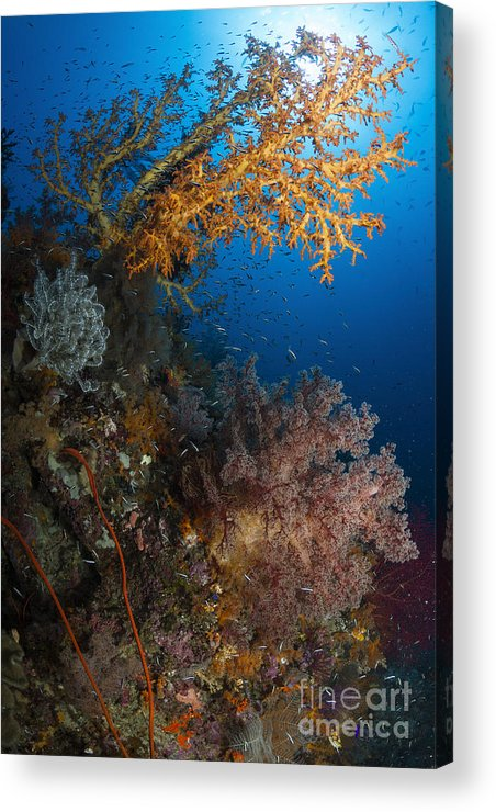 Raja Ampat Acrylic Print featuring the photograph Yellow Sea Fan In Raja Ampat, Indonesia by Todd Winner