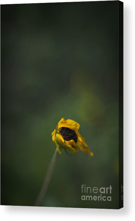 Flower Acrylic Print featuring the photograph Blowing by Margie Hurwich