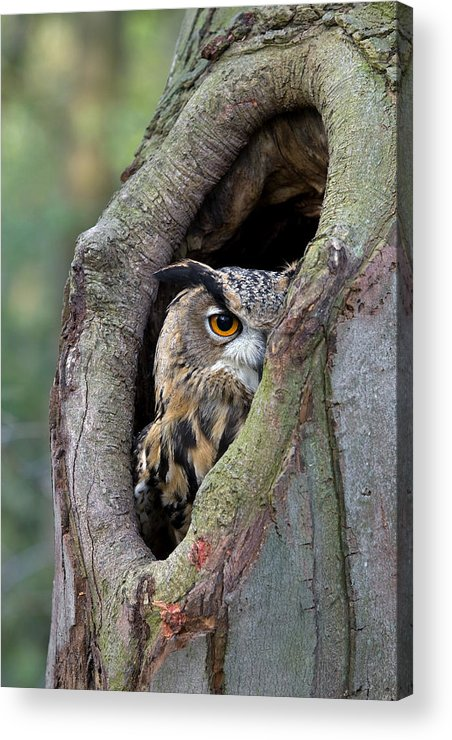 Fn Acrylic Print featuring the photograph Eurasian Eagle-owl Bubo Bubo Looking by Rob Reijnen