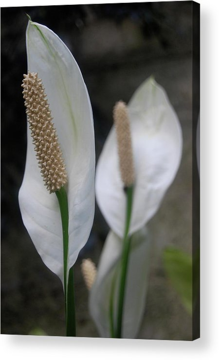 Flowers Acrylic Print featuring the photograph Flowers by Samantha Kimble
