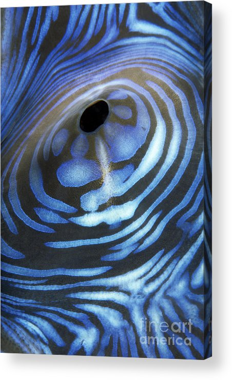 30-csm0041 Acrylic Print featuring the photograph Giant Tridacna Clam by Dave Fleetham - Printscapes