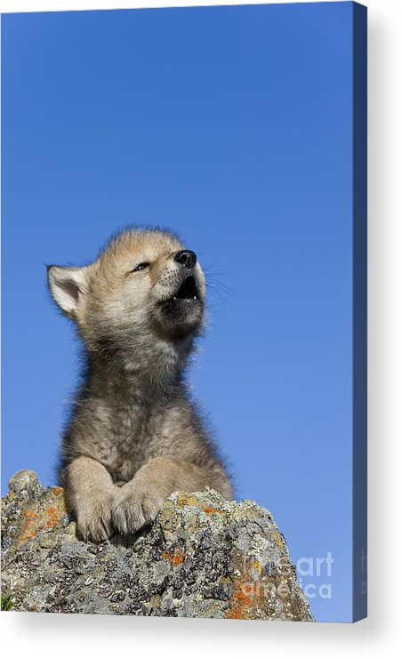 Gray Wolf Acrylic Print featuring the photograph Howling Wolf Cub by Jean-Louis Klein & Marie-Luce Hubert