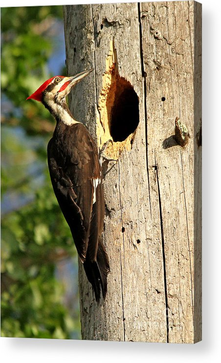 Woodpecker Acrylic Print featuring the photograph Pileated #26 by James F Towne