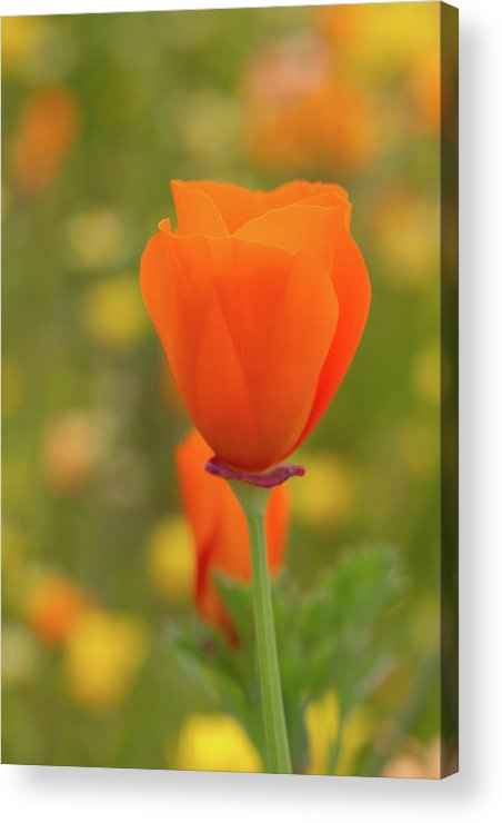 Wildflowers Acrylic Print featuring the photograph Poppy by Roger Mullenhour