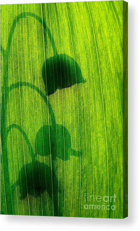 Nature Acrylic Print featuring the photograph Shadow by Odon Czintos