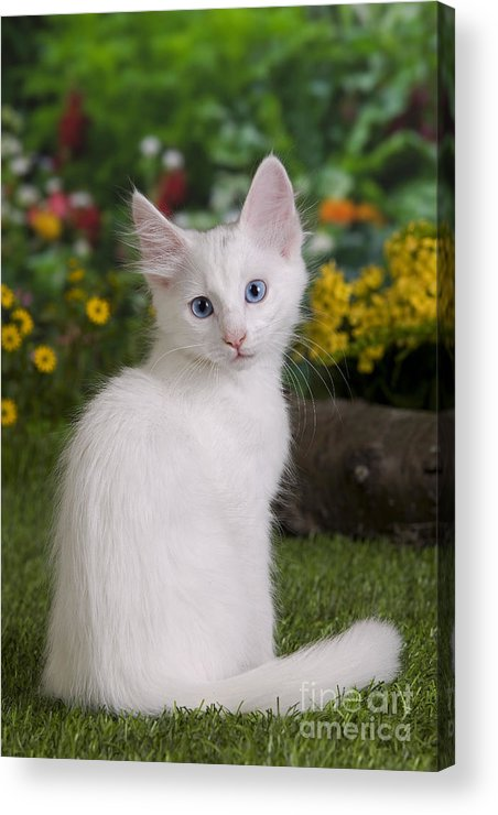 9406f6ed16 Cat Acrylic Print featuring the photograph Turkish Angora Kitten by  Jean-Michel Labat