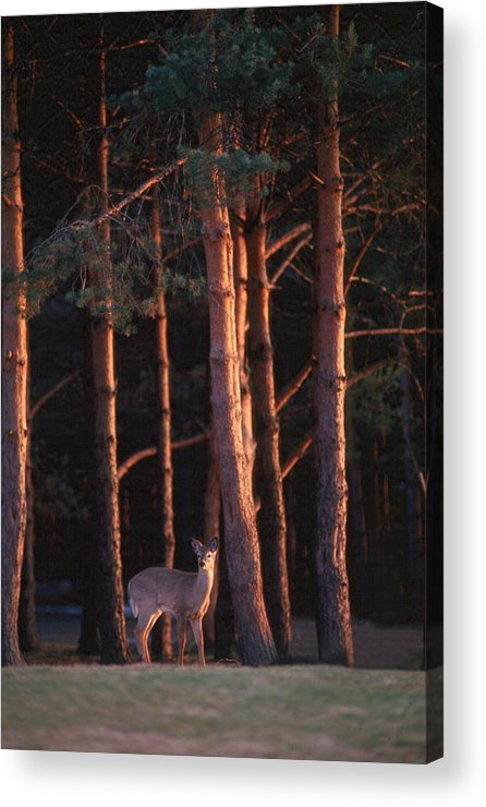 Deer Acrylic Print featuring the photograph White-tail Deer by Raju Alagawadi