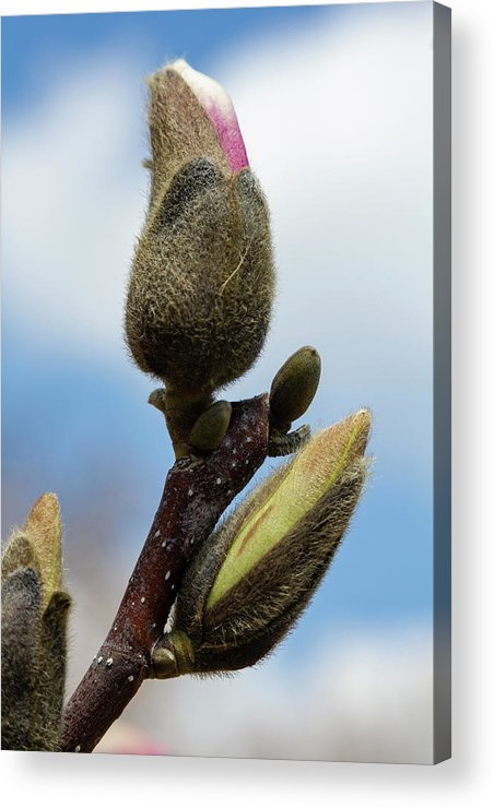 Magnolia Acrylic Print featuring the photograph Magnolia Bud by Robert Ullmann