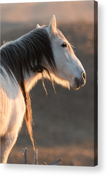 Horse Acrylic Print featuring the photograph Snow White by Kent Keller