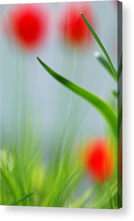 Tulips Acrylic Print featuring the photograph Tulips by Silke Magino