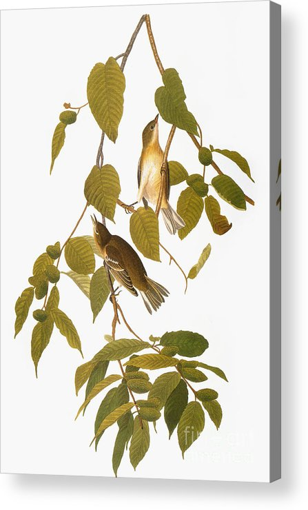 1838 Acrylic Print featuring the photograph Audubon: Warbler by Granger