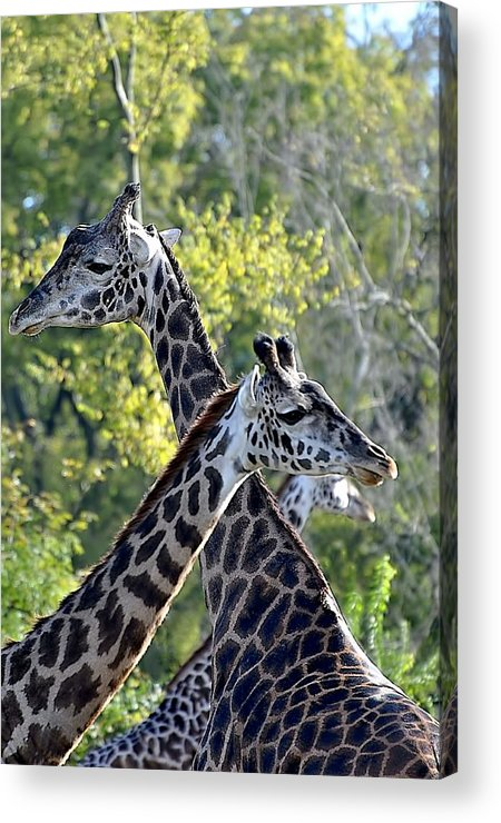 Animals Acrylic Print featuring the photograph 3 Heads Are Better Than 1 by Jan Amiss Photography