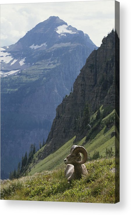 North America Acrylic Print featuring the photograph A Bighorn Sheep Ram, Ovis Canadensis by Tom Murphy