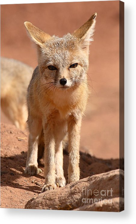 Fox Acrylic Print featuring the photograph Adult Kit Fox Ears And All by Max Allen