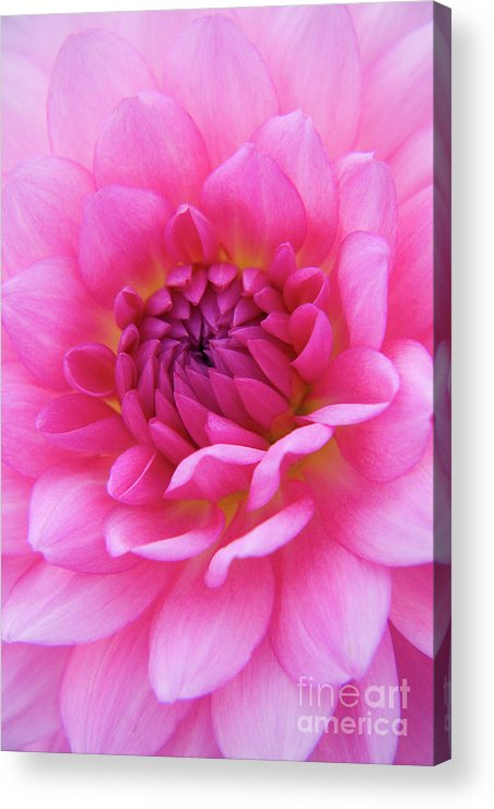 Nature Acrylic Print featuring the photograph Amaranthine by Julia Hiebaum