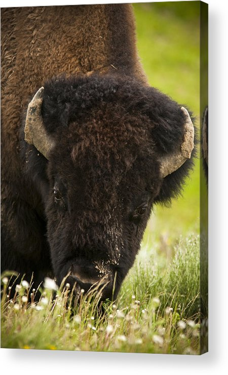 Bison Acrylic Print featuring the photograph American Bison by Chad Davis