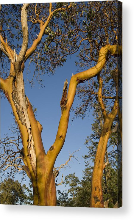 Gulf Islands Acrylic Print featuring the photograph Arbutus Tree At Roesland by Kevin Oke