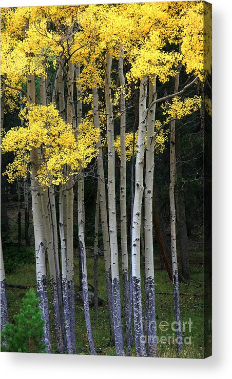 Aspens Acrylic Print featuring the photograph Aspen Stand by Timothy Johnson