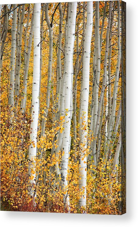 Aspen Acrylic Print featuring the photograph Aspen With Fall Color by Dori Peers