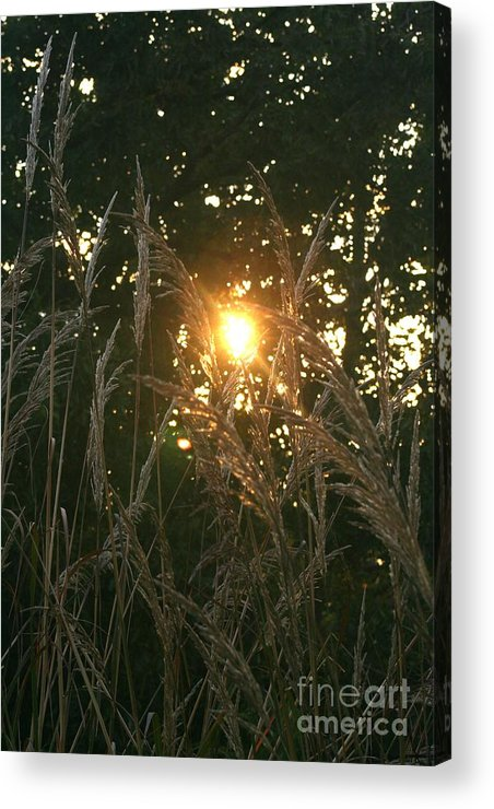 Light Acrylic Print featuring the photograph Autumn Grasses In The Morning by Nadine Rippelmeyer