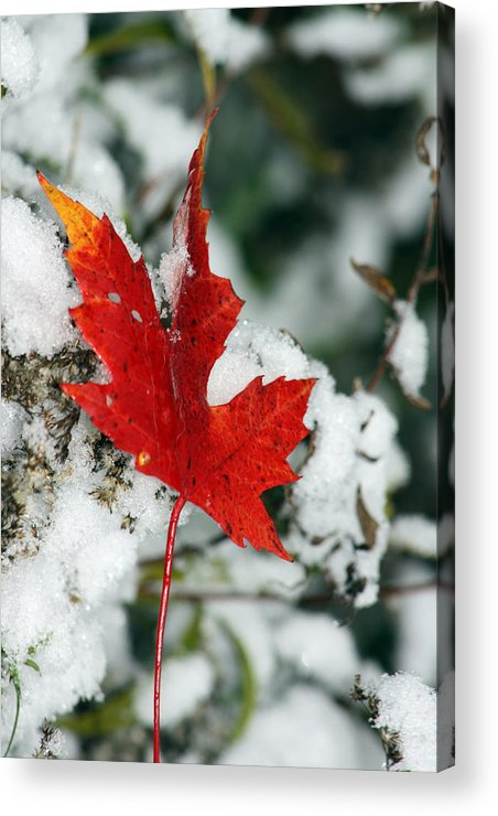 Autumn Acrylic Print featuring the photograph Autumn Meets Winter by Cathy Beharriell