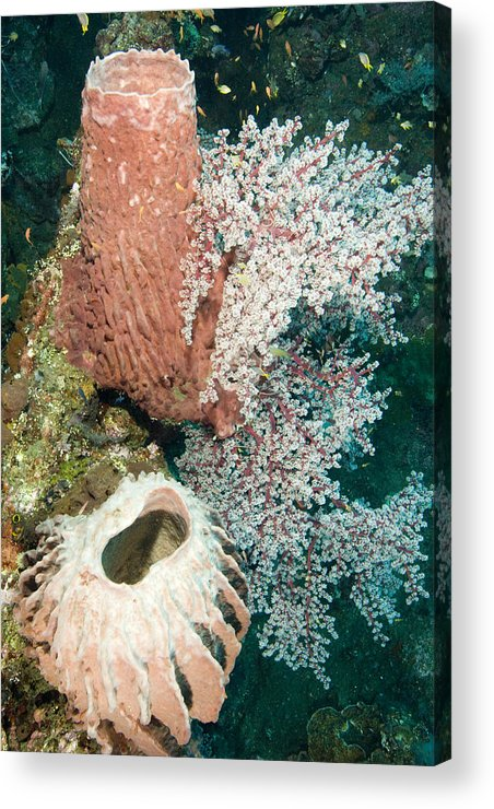 Coral Acrylic Print featuring the photograph Barrell Sponges And Sea Fans by Tim Laman