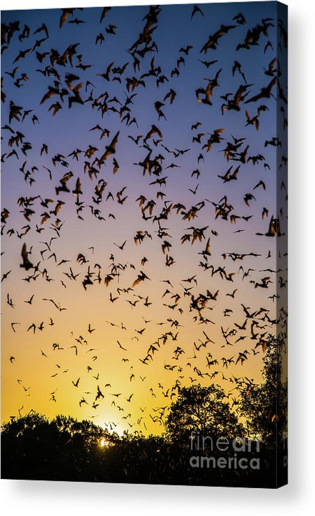 Bats Acrylic Print featuring the photograph Bats At Bracken Cave by Michael Tidwell