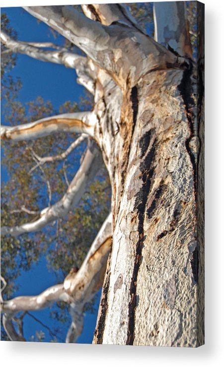 Eucalyptus Acrylic Print featuring the photograph Bending by Jean Booth