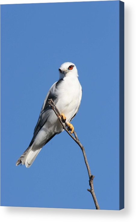 Osprey Acrylic Print featuring the photograph Black-shouldered Kite by Tony Brown