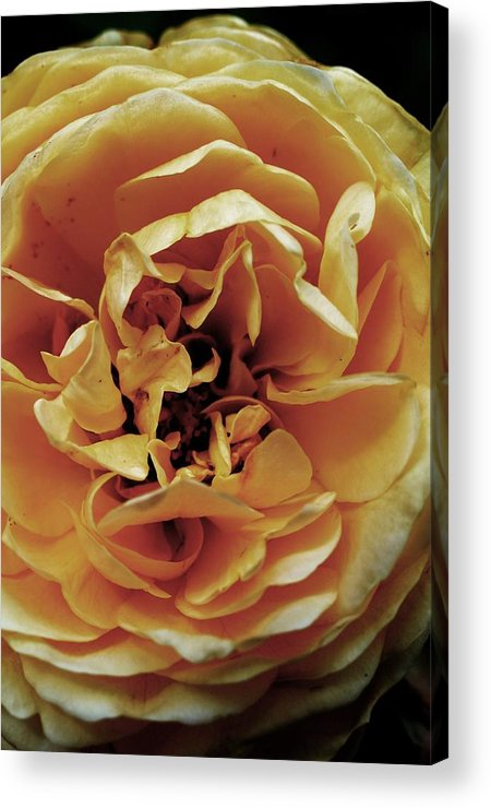 Petals Acrylic Print featuring the photograph Bloom by Kate Bentley