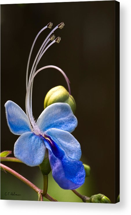 Flower Acrylic Print featuring the photograph Blooming Butterfly by Christopher Holmes