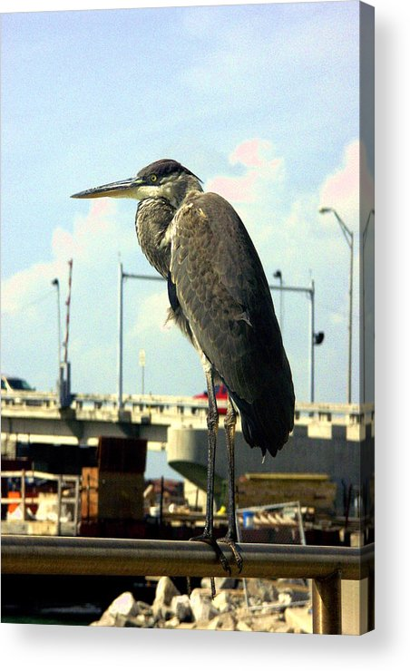 Bird Acrylic Print featuring the photograph Blue Heron by Dean Corbin