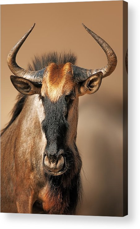 Wildebeest Acrylic Print featuring the photograph Blue Wildebeest Portrait by Johan Swanepoel