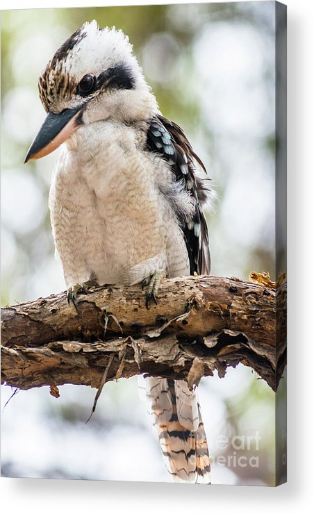 2017 Acrylic Print featuring the photograph Blue-winged Kookaburra by Andrew Michael